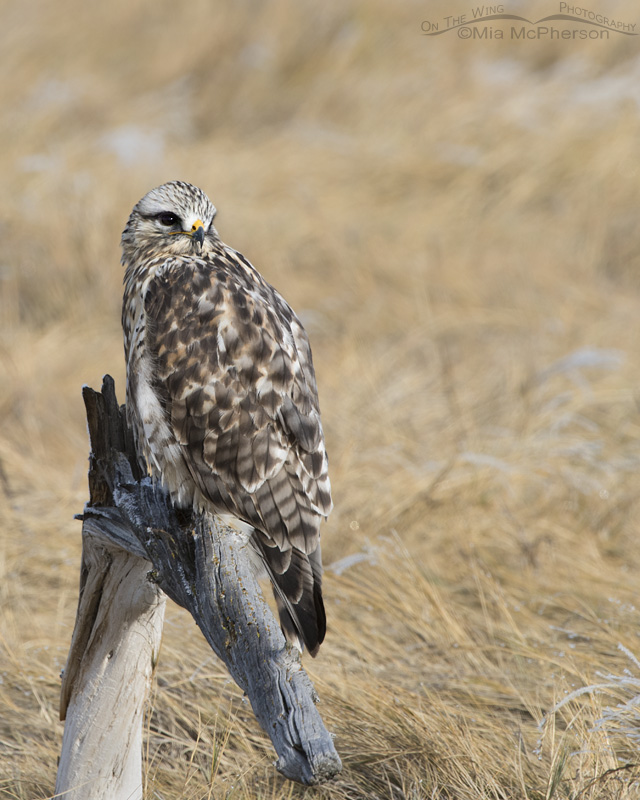 A Rough-legged Hawk male giving me an over the shoulder look
