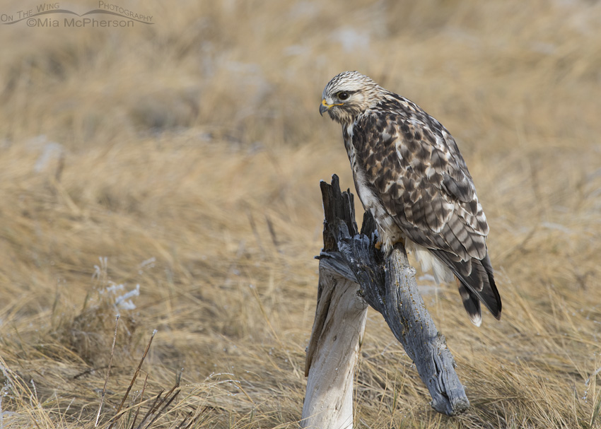 Male Rough-legged Hawk on a gnarly wooden perch