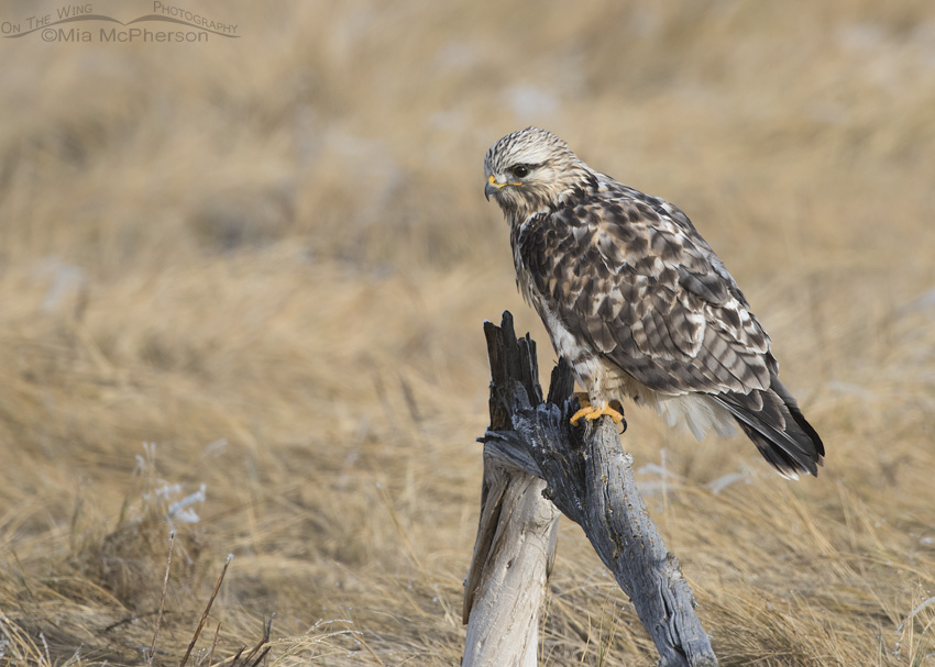 Rough-legged Hawk male after rousing