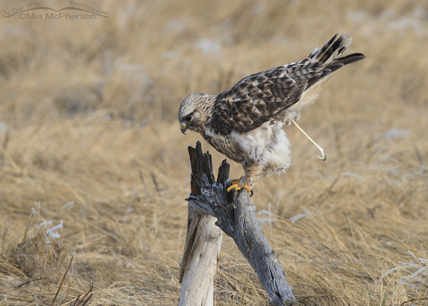 A pooping male Rough-legged Hawk