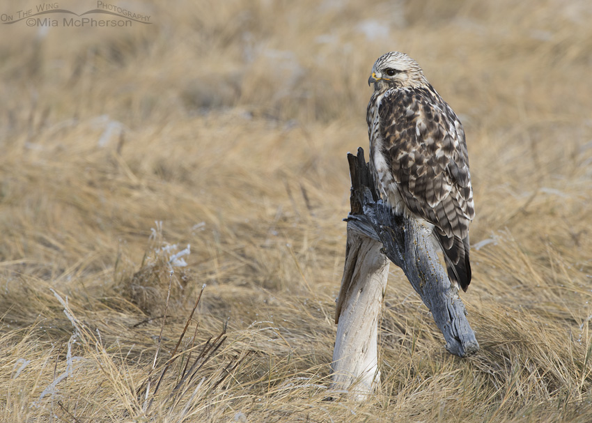A Rough-legged Hawk perched in a frosty marsh