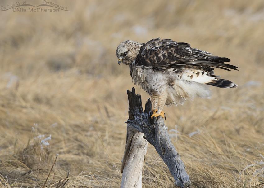 Male Rough-legged Hawk rousing