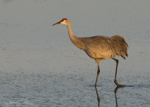 Sandhill Crane at first light in Sarasota County