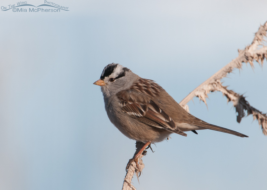 Adult White-crowned Sparrow at Lee Kay Ponds