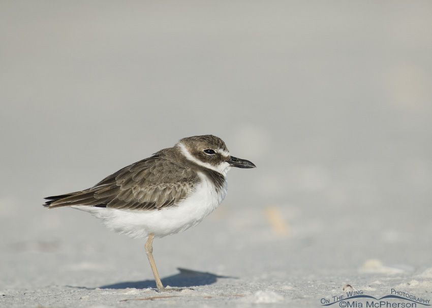 Wilson's Plover warming in the sunlight