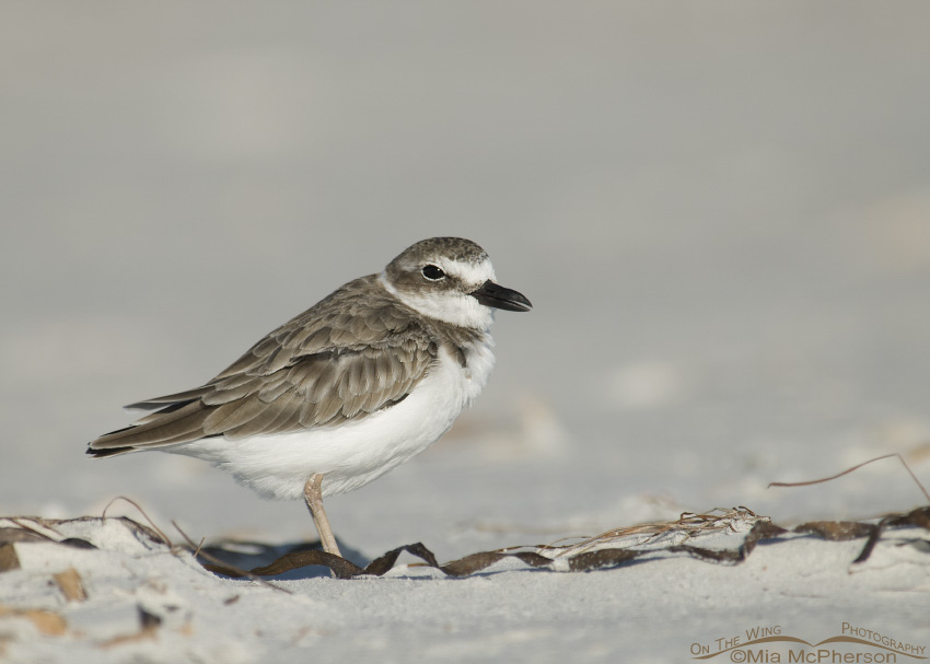 Wilson's Plover in the sand