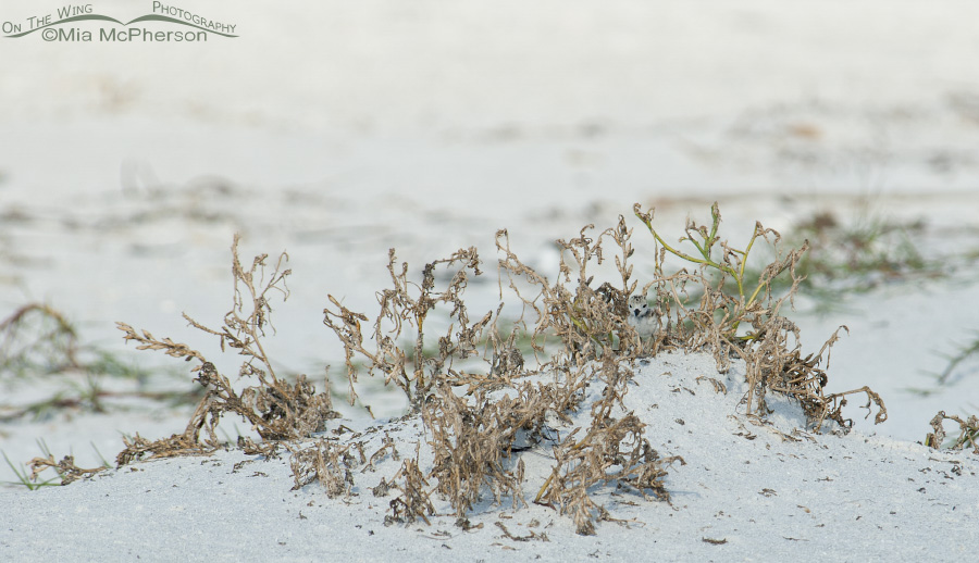 Where is the Wilson's Plover chick?