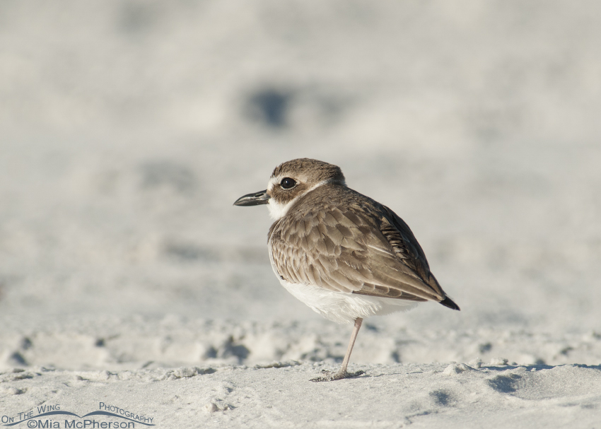 A lone Wilson's Plover