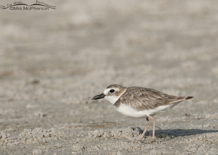 A Wilson's Plover foraging
