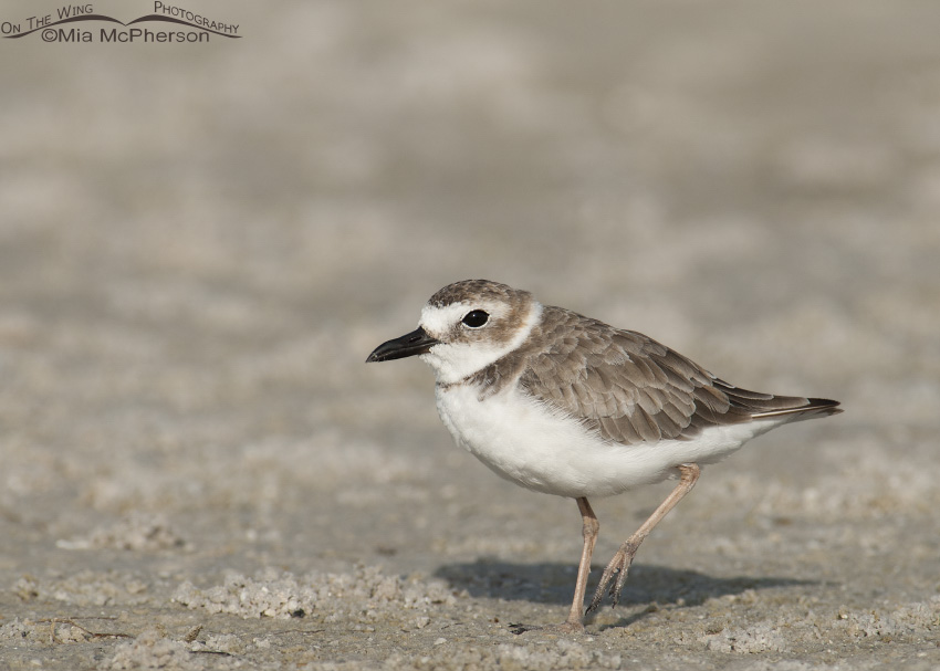 A Wilson's Plover resting on one leg