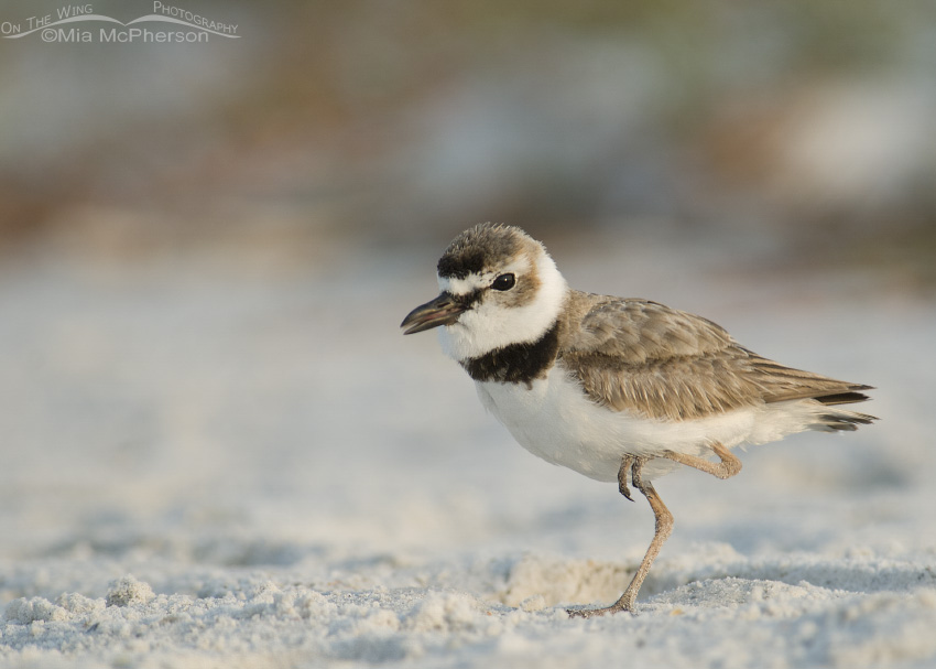 Wilson's Plover doing the Funky Chicken