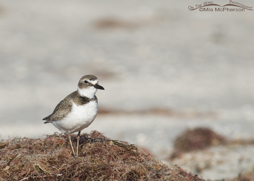 A mound of seaweed and a Wilson's Plover