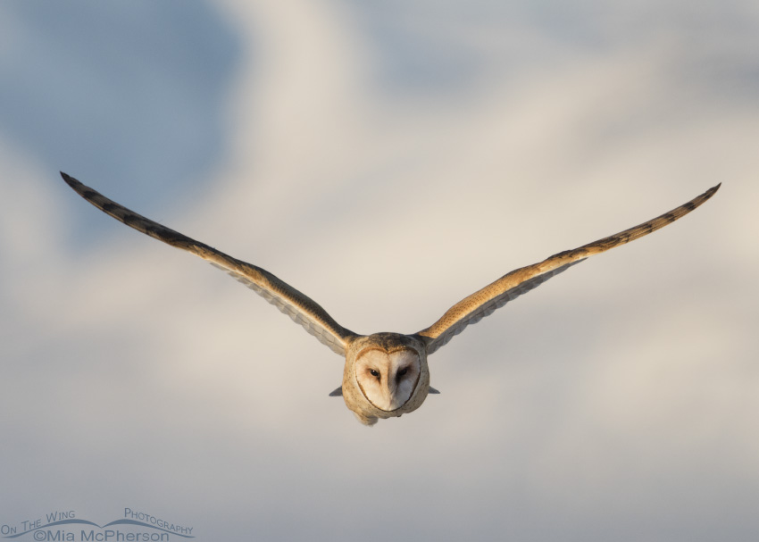 Barn Owl in flight head on