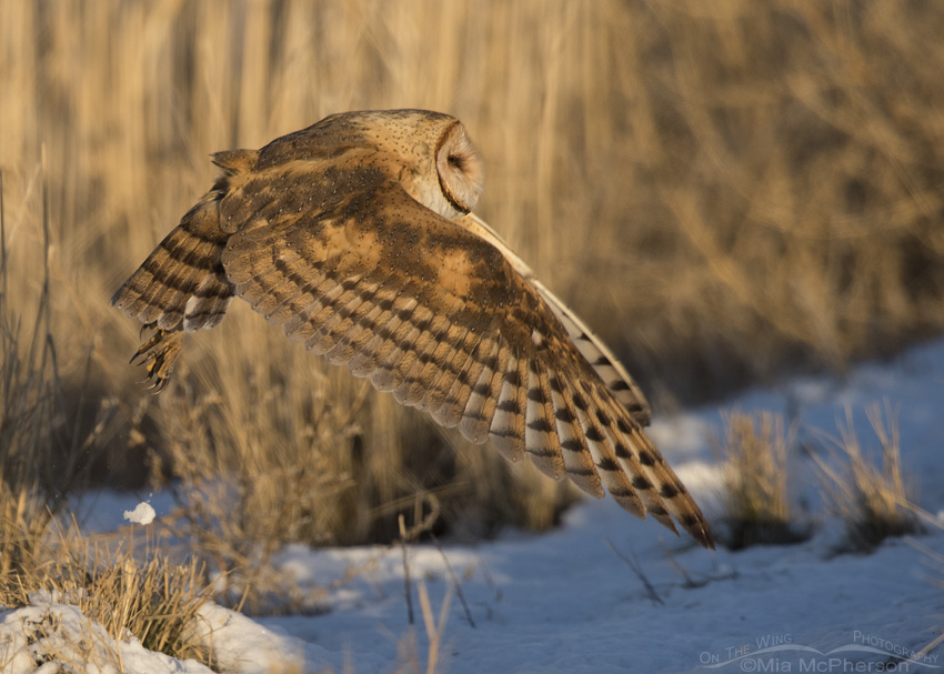A Barn Owl lifting off from a mound of snow