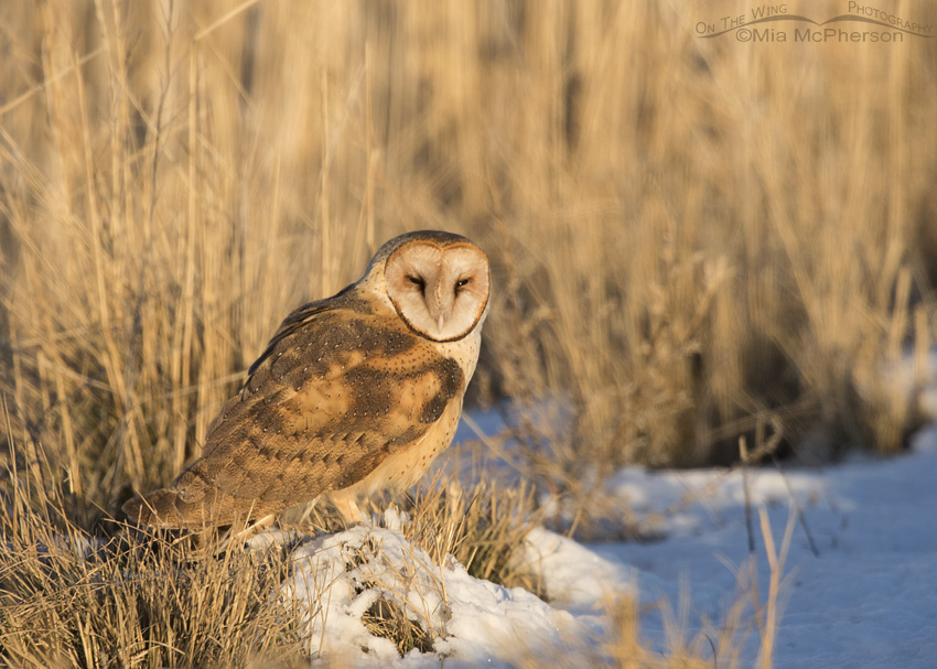A Barn Owl resting on a mound of snow