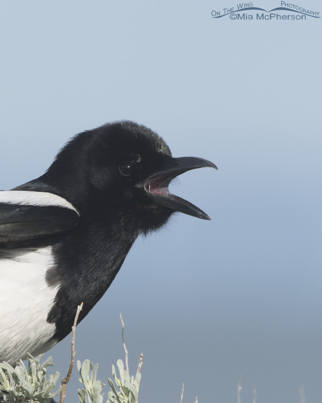 Black-billed Magpie Portrait