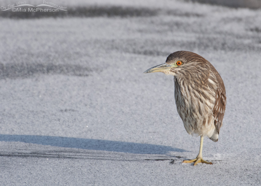 Juvenile Black-crowned Night Heron on ice