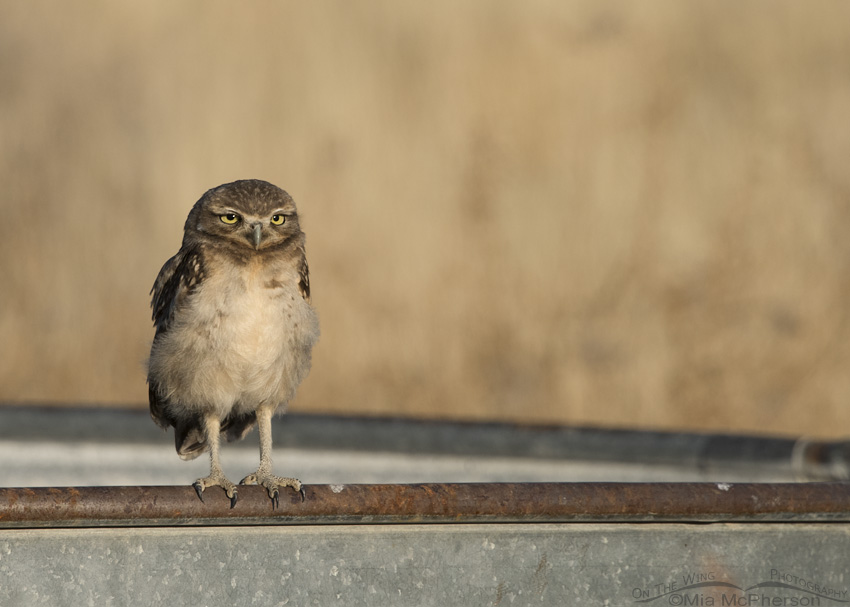 A relaxed Burrowing Owl juvenile on a water trough