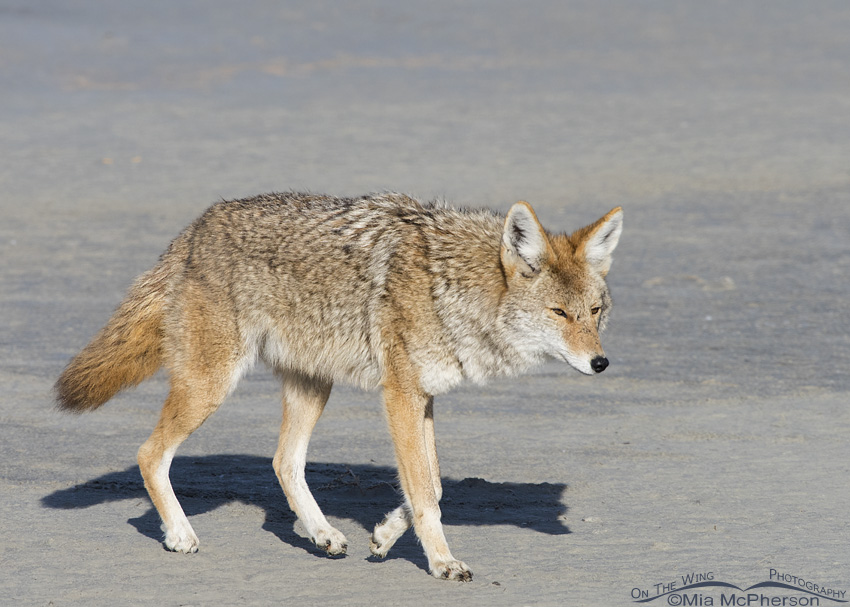 Adult Coyote on the shoreline of the Great Salt Lake
