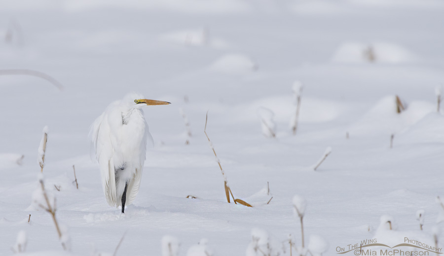 Great Egret resting in snow