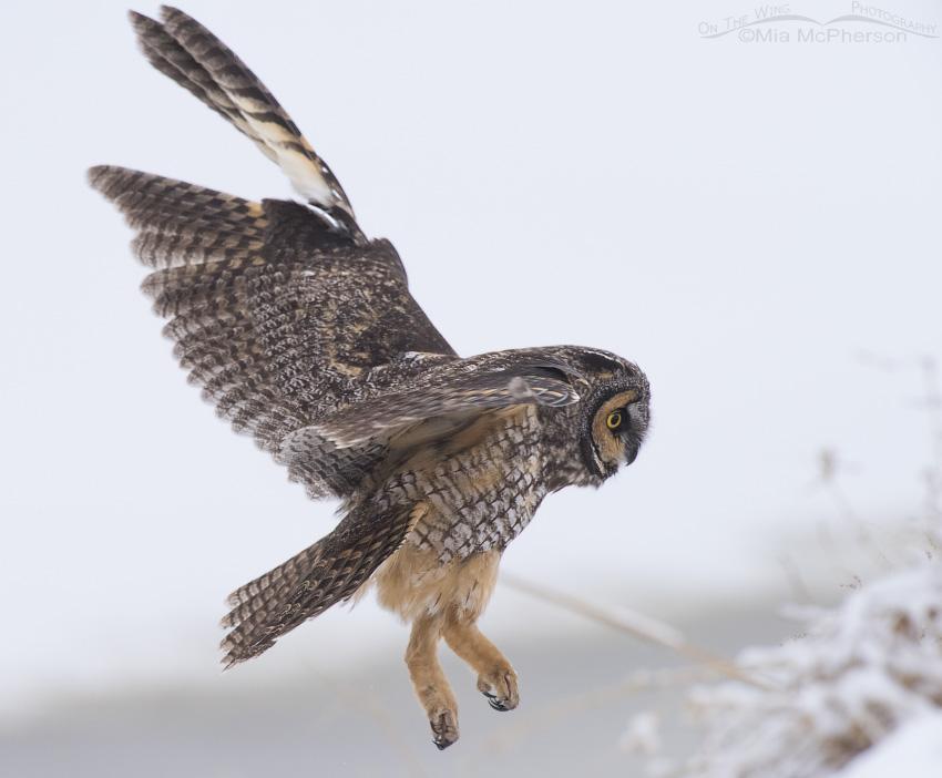 Long-eared Owl landing
