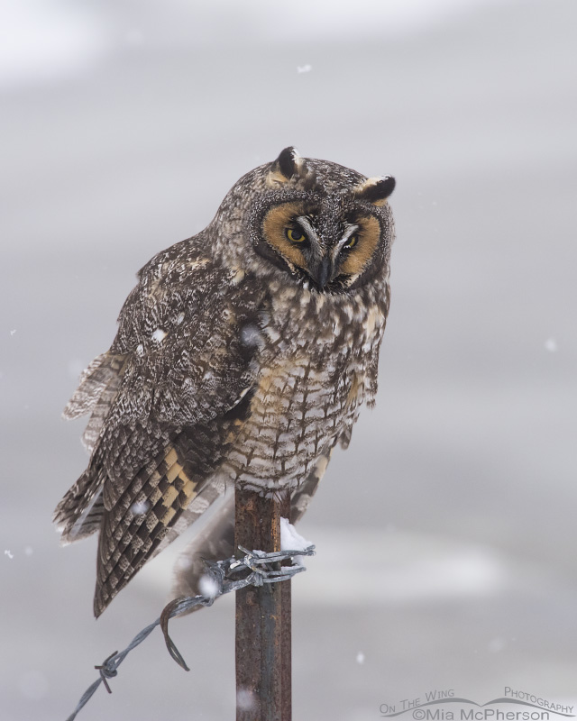 Perched Long-eared Owl with falling snow