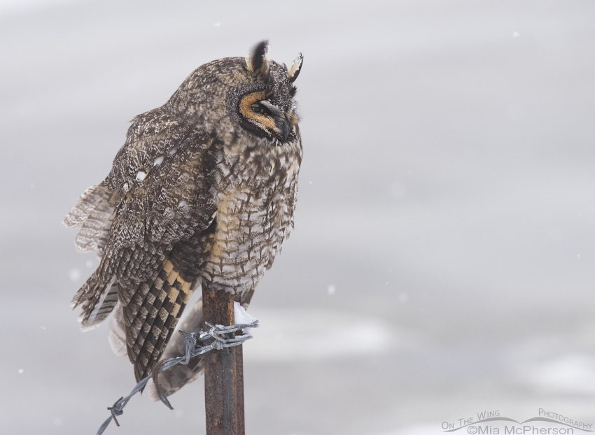 Long-eared Owl on a rusty post