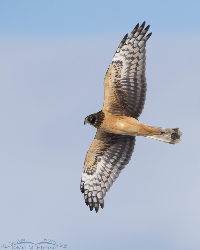 A juvenile Northern Harrier in flight over Farmington Bay