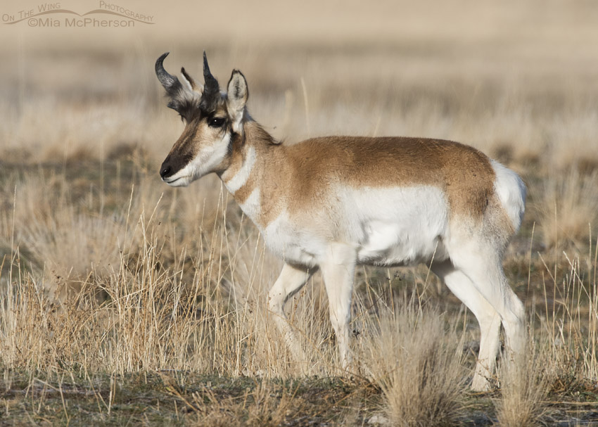 Pronghorn buck during horn sheath growth