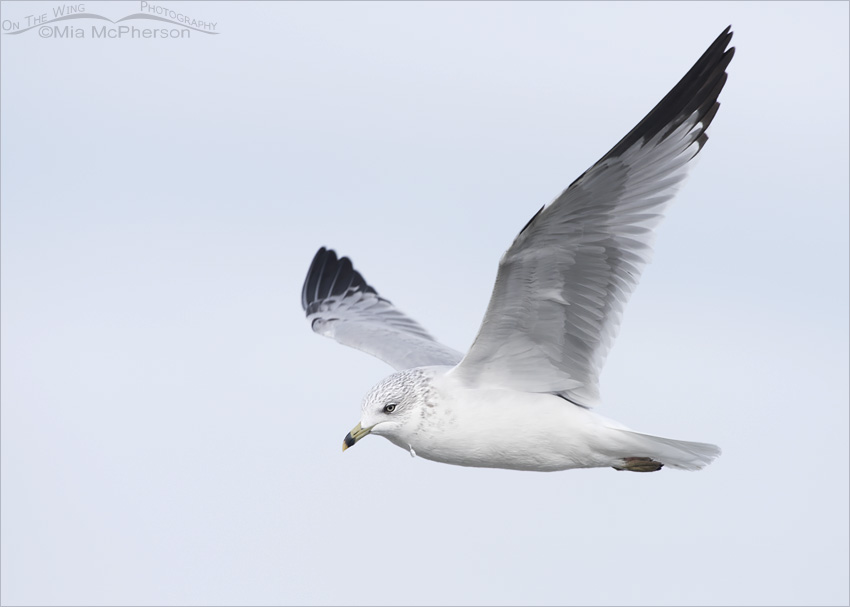 Ring-billed Gull in flight against a cloudy sky