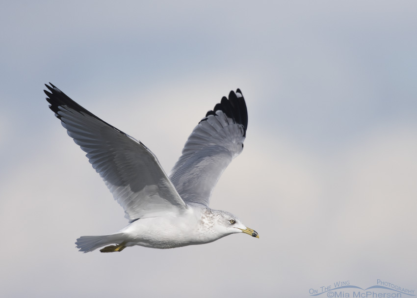 Ring-billed Gull flying in a partly cloudy sky