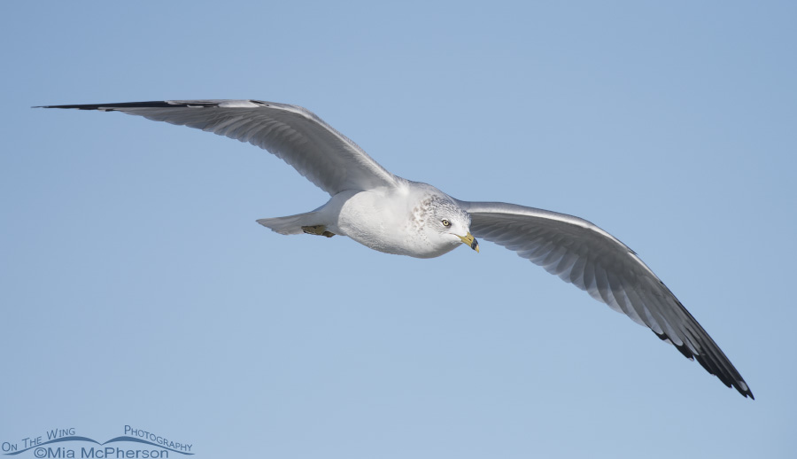 Ring-billed Gull in flight with clear sky