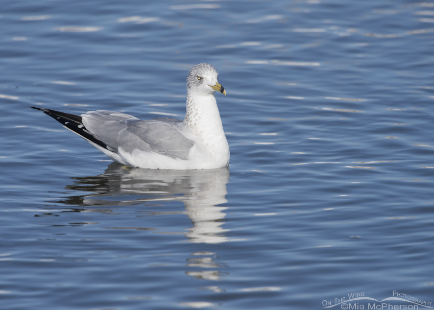 Ring-billed Gull adult at Farmington Bay