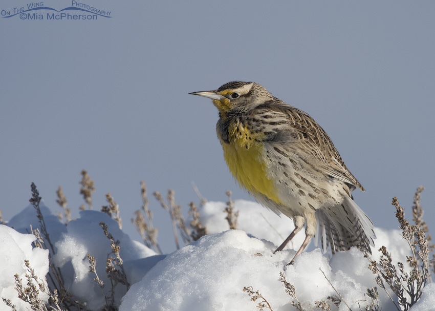 Western Meadowlark stretching on snow-covered Sagebrush