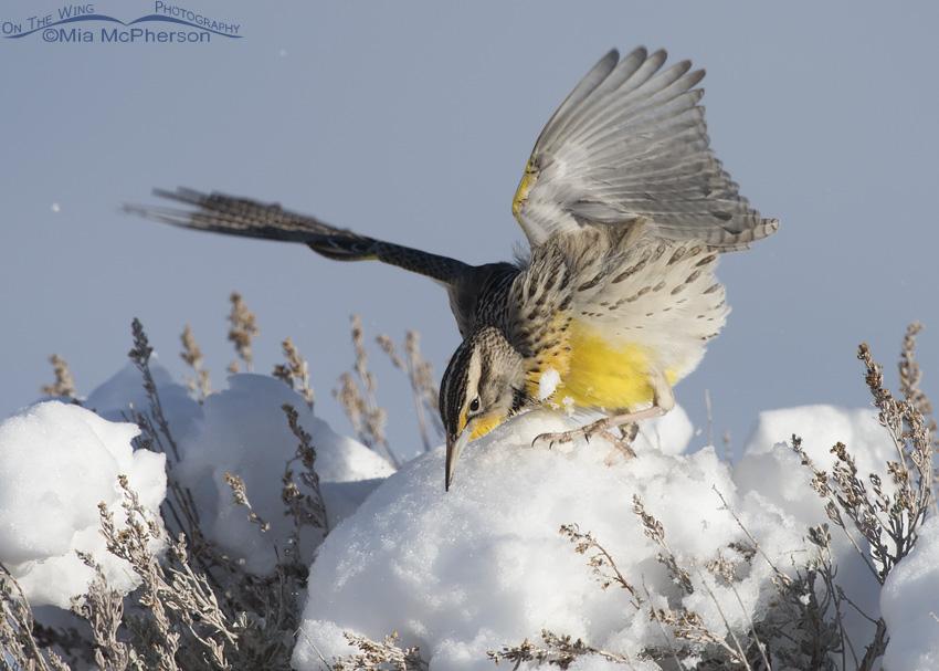 A Western Meadowlark on a puff of snow
