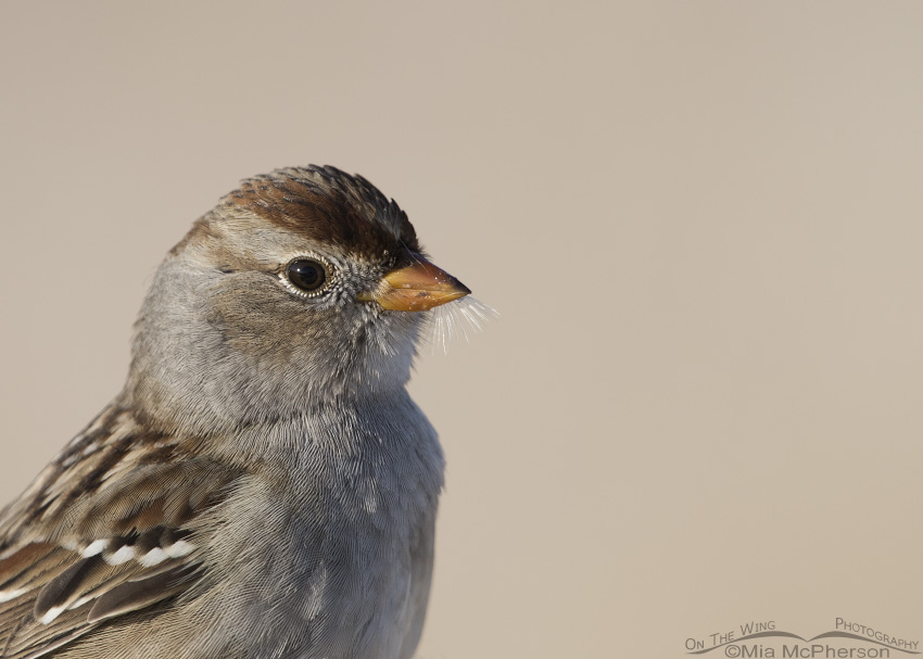 Immature White-crowned Sparrow First Winter Close Up