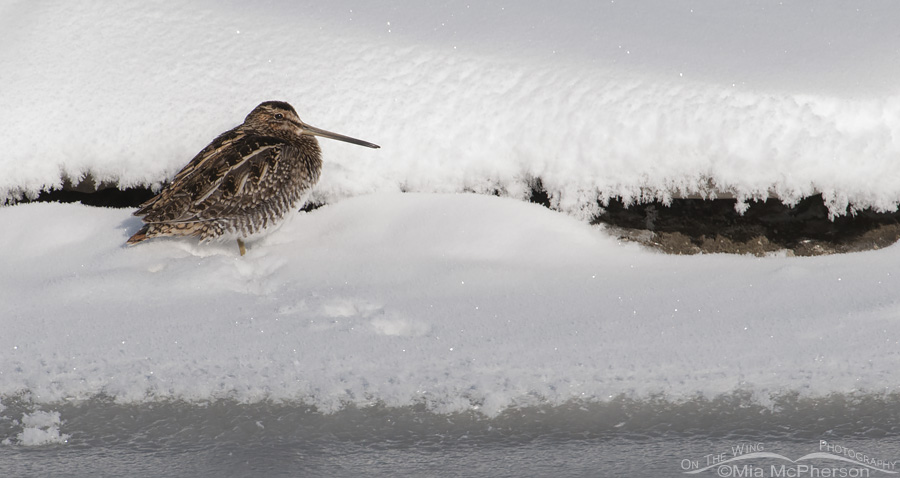 A Wilson's Snipe resting in snow