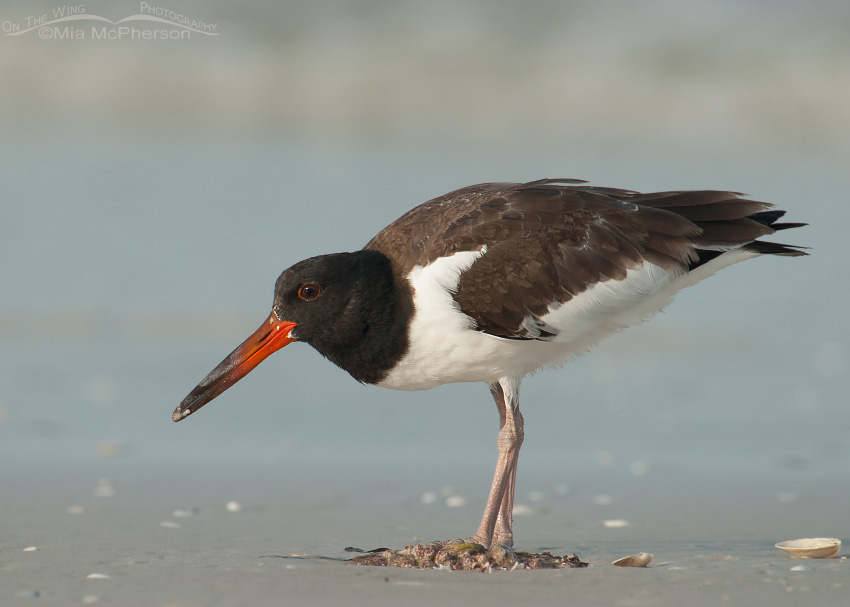 Juvenile American Oystercatcher on the shore