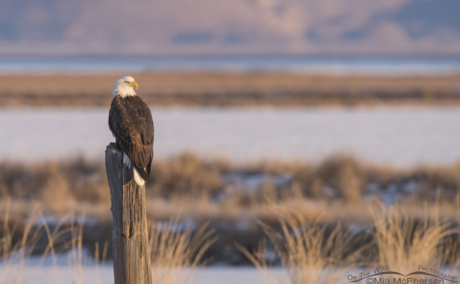 Sunrise, a Bald Eagle and Bear River Migratory Bird Refuge