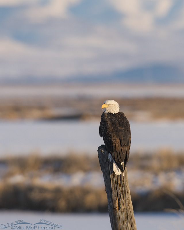 An adult Bald Eagle on New Year's Day