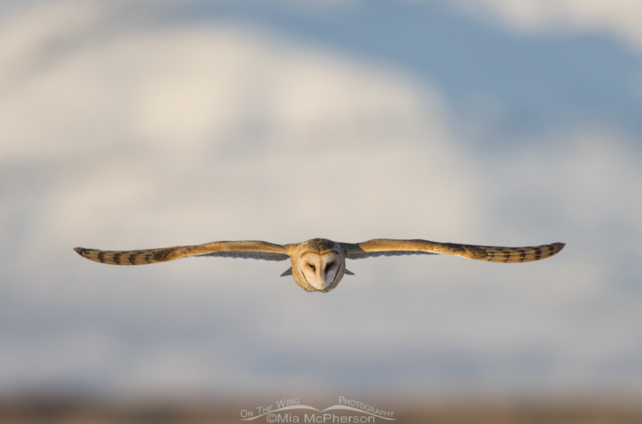 A Barn Owl flying straight ahead
