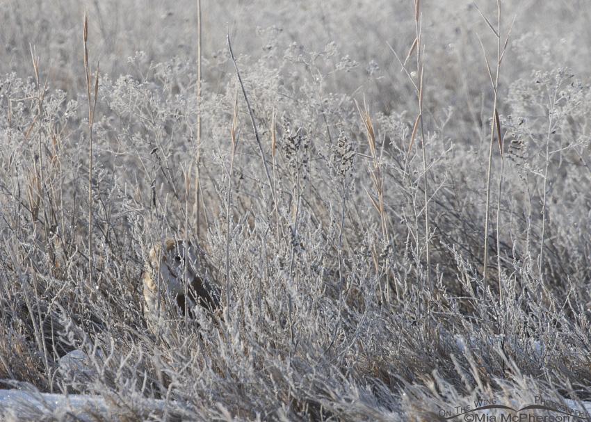 Barn Owl hidden in weeds