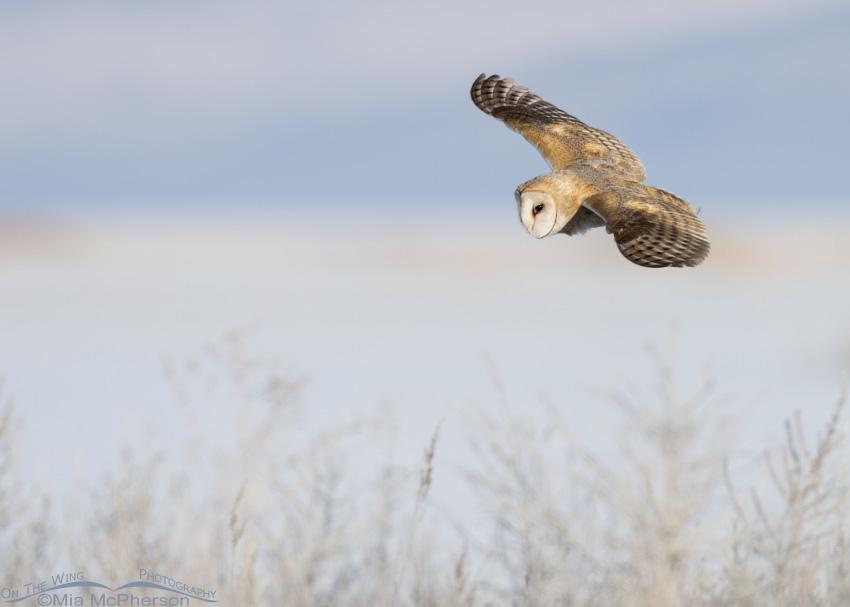 A Barn Owl hunting near the Bear River
