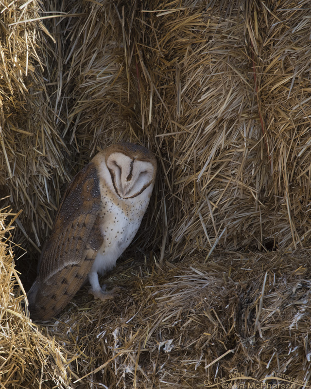 A resting Barn Owl on hay bales