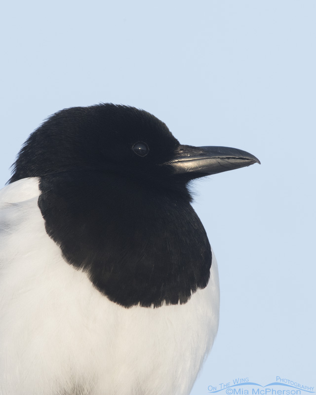 Adult Black-billed Magpie close up