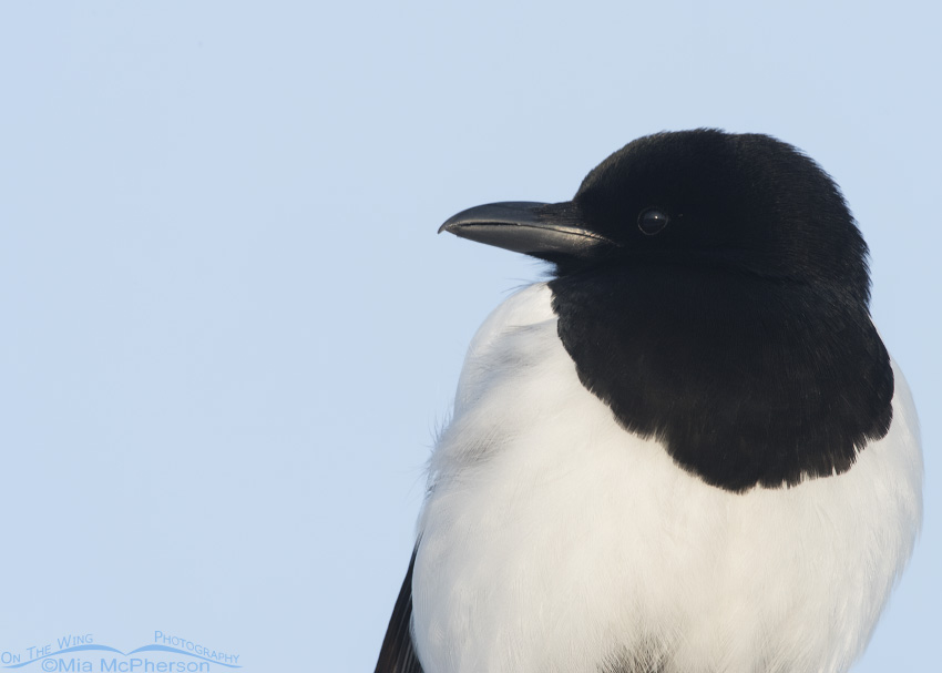 Portrait of an adult Black-billed Magpie