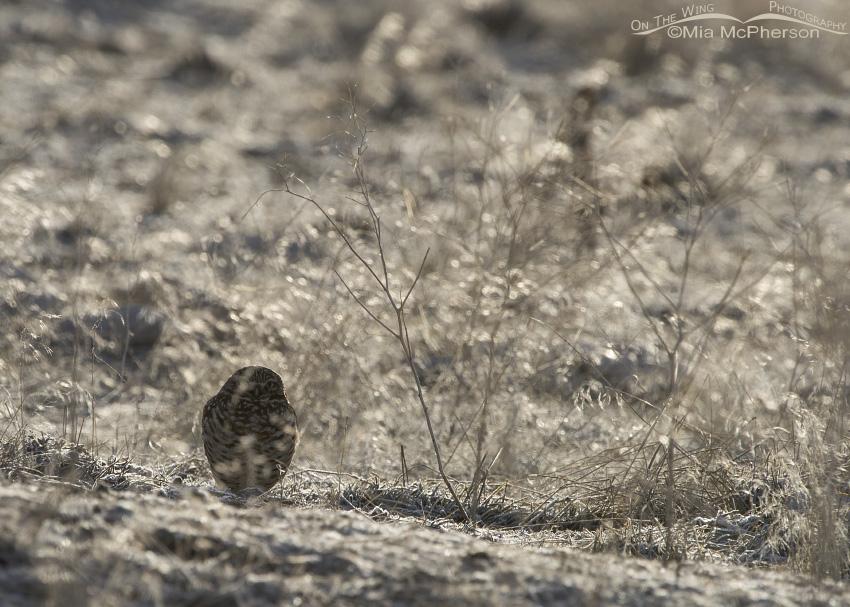 Back lit Burrowing Owl in winter