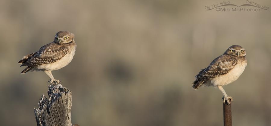 A pair of juvenile Burrowing Owls enjoying the morning light