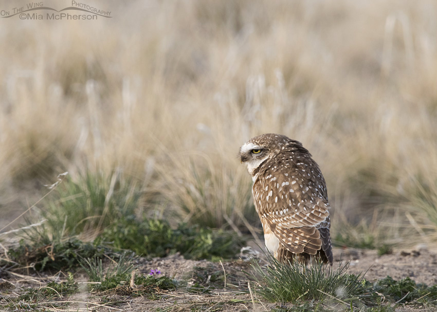 An adult Burrowing Owl in early spring
