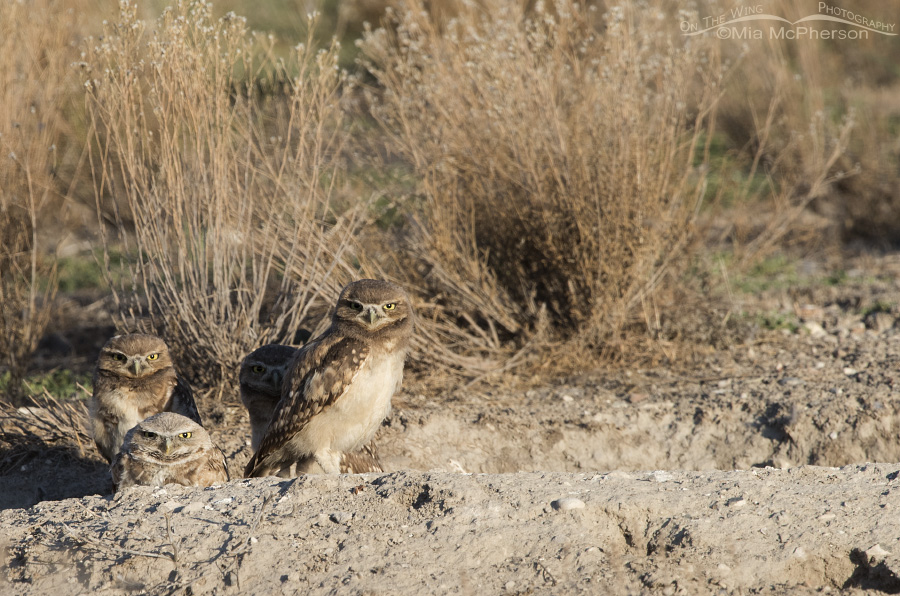 A Burrowing Owl family at its burrow